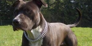 Assurance animaux American Staffordshire featured