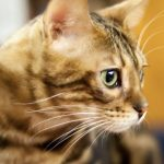 Le Toyger, le Chat tigre - quelle assurance