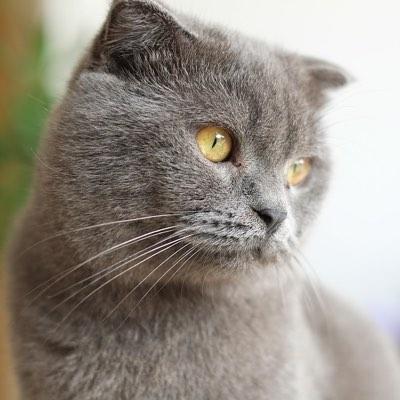 Le chartreux - quelle assurance pour proteger au mieux votre chat