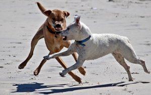 La rage chez le chien