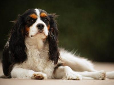 Cavalier king charles assurance et mutuelle sante chien