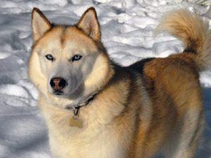Husky de Siberi