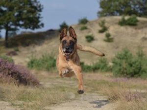 berger belge assurance mutuelle sante chien