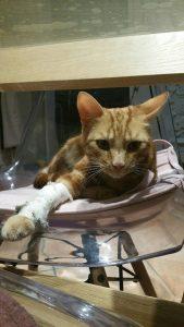 fracture du chat - le cas de Biscuit
