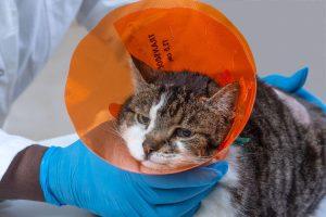 Un chat après son opération d'ablation de tumeur