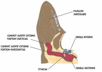 otite-chien-le-mammouth