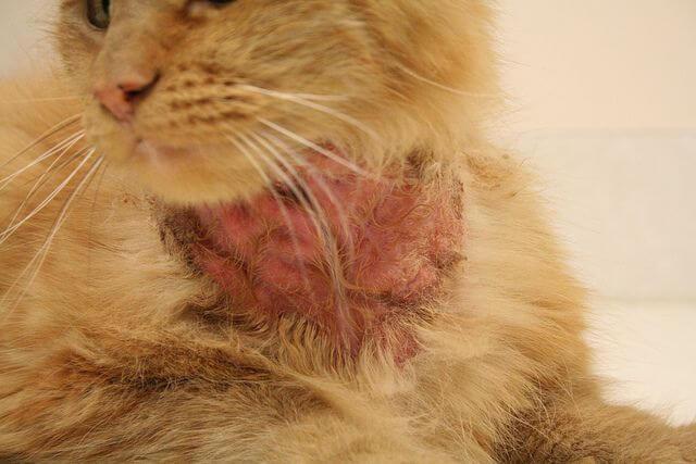 image d'une allergie de peau d'un chat