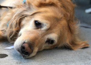 parvovirose canine (exemple d'un golden retriever)