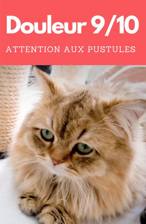 les pustules sont douloureuses pour un chat atteint d'acné